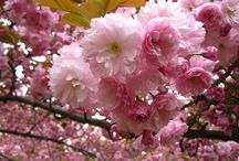 Cherry Blossoms / Every spring, hundreds of cherry trees bloom in Brooklyn Botanic Garden. BBG is one of the foremost sites for viewing cherry blossoms outside Japan. Celebrate the season with us! / by Brooklyn Botanic Garden