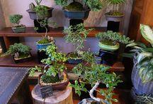 Bonsai Trees / Unique bonsai trees available, perfect as a gift!