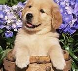 Dogs and puppies / Golden retriever are so cute because there little cute faces