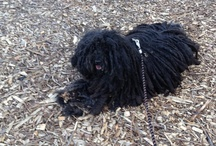 Simply Puli / My Puli pup is named Laszlo.  He gives me and my family such a thrill!  A huge delight!!