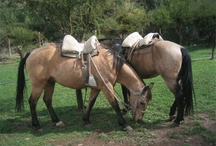 beautiful horses / Riding and rodeo horses in Chile.