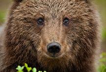 Bearus bearus