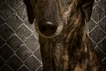 Galgos & Greyhounds