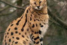 african servals / by Lisa Wardigo