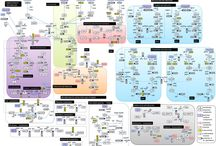 glucose metabolic pathway