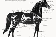 Morgan Sport and Pleasure Horses / Morgan Sport Horses