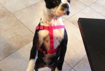 We got a puppy! / We just rescued a Boston Terrier! / by Aimee Crump