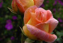 güller çiçekler bitkiler