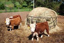 Mini-cattle