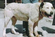 alabai / Central Asian Shepherd Dog