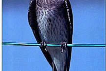 purple martins / by Linda Gross Johnson