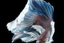 poisson combattant