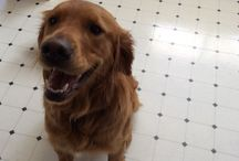 Maggie / Golden Retriever