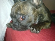 French Bulldogs / All about the French Bulldog, info, pictures, breeders, rescues, care, temperament, health, puppies and much more.