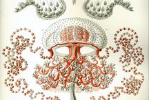 Haeckel Illustrations