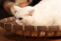 猫侍(玉之丞)