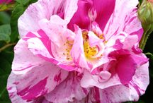 róże marmurkowe