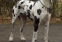 Grands dogues allemands