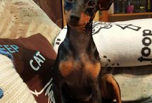 Caddy die Zwergpinscher-Prinzessin / Zwergpinscher, Miniature pinscher, Hund, Dog, Minpin, Rehpinscher, pinscher