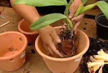 Orquideas replante