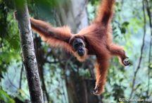 Sumatran Orangutans / The amazing but critically endangered Sumatran Orangutans.