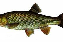 Balık Avcısı