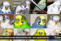 Muhabbet Kuşu Hakkında Bilgiler / Petcim üzerinde, muhabbet kuşu türleri ile ilgili bilgilendirici makale ve görseller.