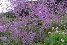 Staude / Perennials