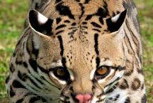 Mammals/ Feline