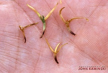 Anthracnose (Colletotrichum cereale)
