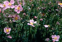Garden herbaceous