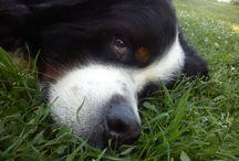 Otto my love, Bernese Mountain Dog / mens_fashion