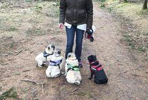 Pug Mops / This is about our pugs and our love for the breed - Det handler om vores mops og vores kærlighed til racen