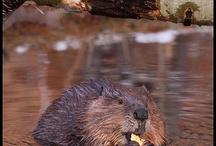 Animal - beaver, otter, capybara, guinea pig, rabbit, hamster, mouse