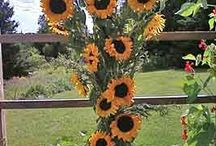 Sunflowers / sunflowers in many different settings