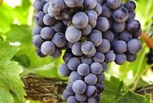 Vite - Grapes Vines / Vendita Online Piante di Vite in vaso. Sale Online Grapes Vines in pot.