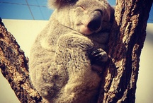 Koalas & Cuddling / A celebration of all things koala, with a bit of cuddling thrown in... nawww!
