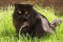 Black Persian Cat