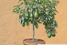 árvores frutíferas em vaso