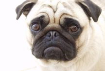 Pug Friendzy / www.PugFriendzy.com is a community of dog lovers! Join us to share photos, ask questions, or just enjoy daily pictures!