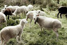 Lã / Algodão