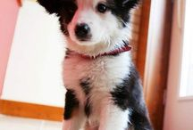 Border collie LOVE / The love of border collie