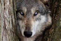 fetide wolf