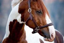 Horses  - Lovak