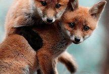 лисы волки