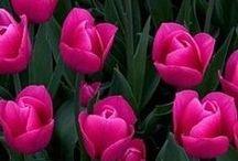 λουλουδια-I love tulips.... / μοσχοβολιες