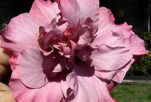 Hibiscus lavender lady