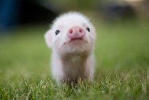 Piggies. / All things piglet for my eldest. / by Amy Madden
