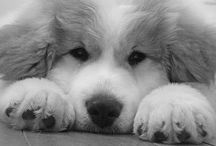 Great Pyrenees / Someday I will have a Great Pyrenees. When I'm a bit older,less busy and experiencing empty nest syndrome.