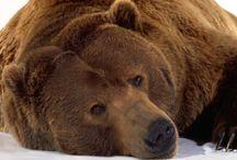Tapety - zwierzęta - niedźwiedzie - brunatne